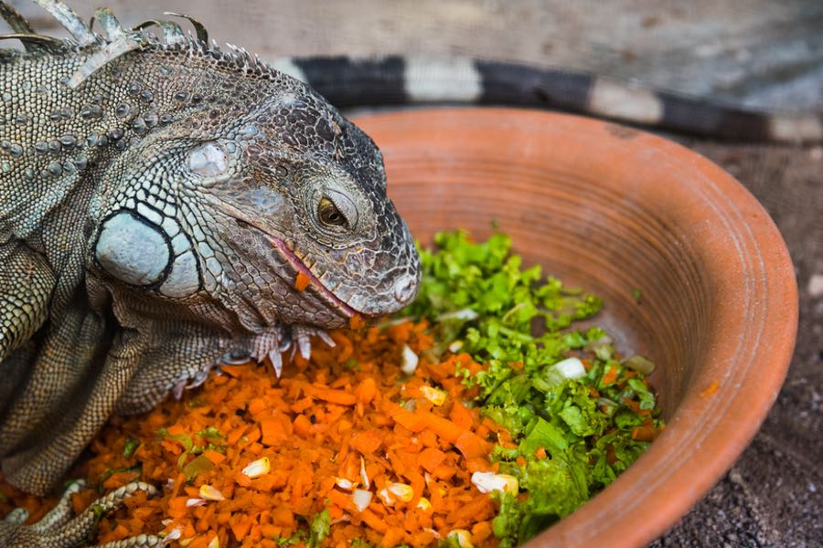 Iguana Food